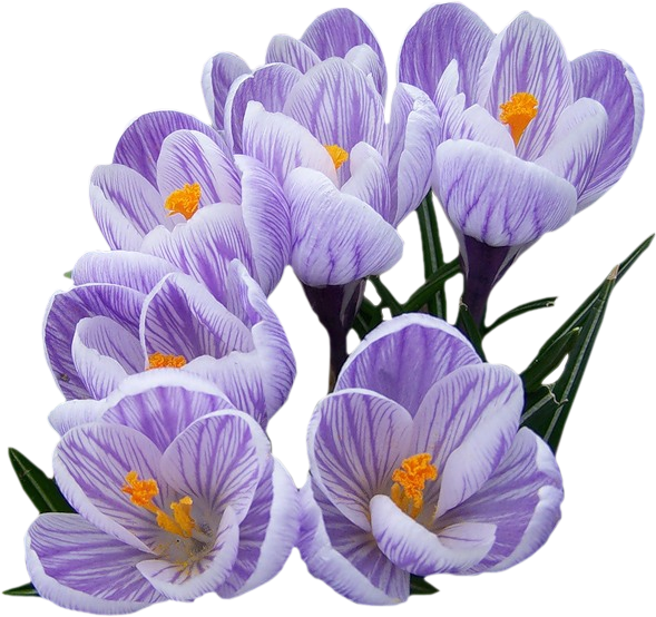 цифровой скрапбукинг, FREE весенний клипарт, scrap FREE, клипарт, clipart png, скрап-набор, картинки на прозрачном фоне, для фотографий, для фотошоп, весна, цветы, крокусы, первоцветы, рукоделки василисы