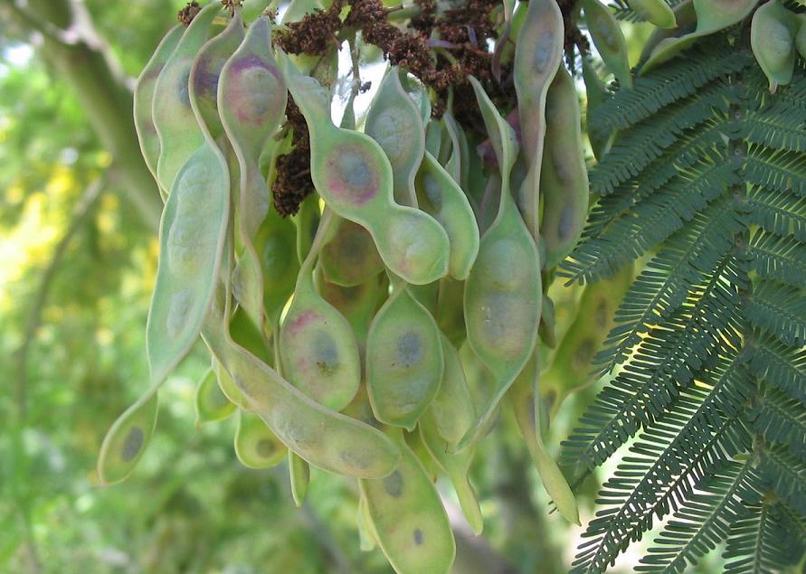 Acacia_dealbata_fruto.jpg